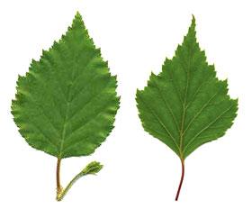 Liście brzozy na reumatyzm